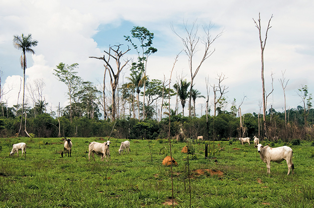 Cattle roam pasture among burned trees