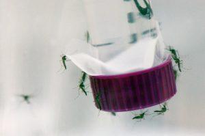 Zika Mosquitos
